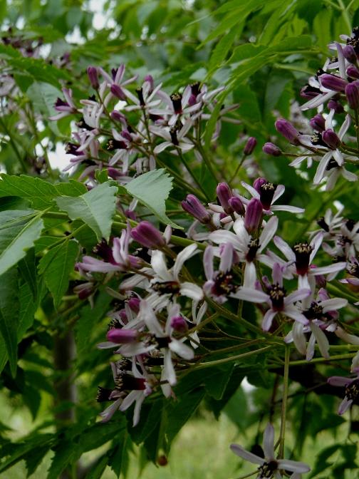 Melia blossom Pound 616
