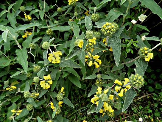Phlomis fruticosa 516