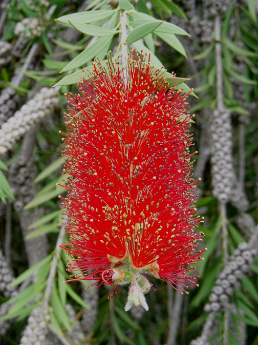 Unknown Callistemon Pound 616