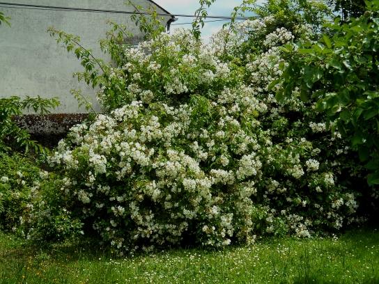Windy June Rosa Kiftsgate 616