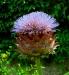 Artichoke flower, nearly-O Flower of Scotland, Tostat, July 2016