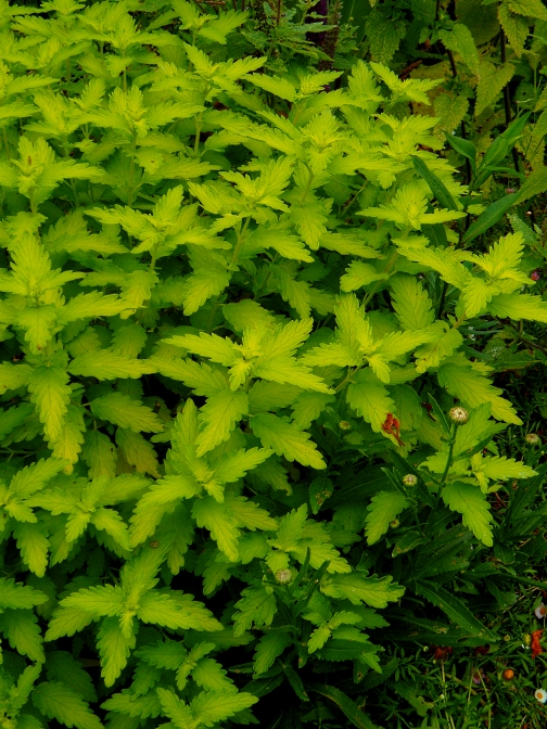 Caryopteris clandonensis Hint of Gold 616