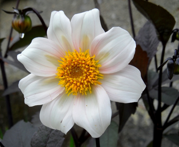 Dahlia Twynings After Eight 716