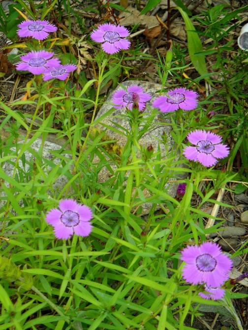 Dianthus amurensis Siberian Blues 716