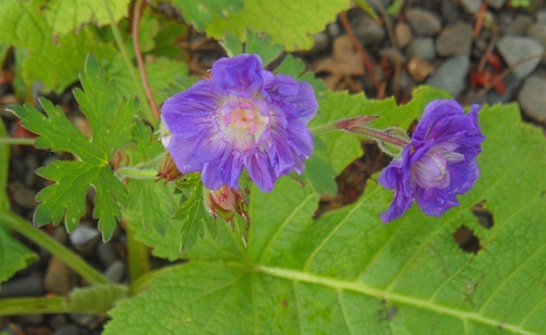 Geranium himalyense Birch Double 616