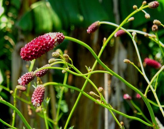 Sanguisorba Cangshan Cranberry 616