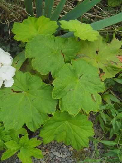Astilboides tabularis 616