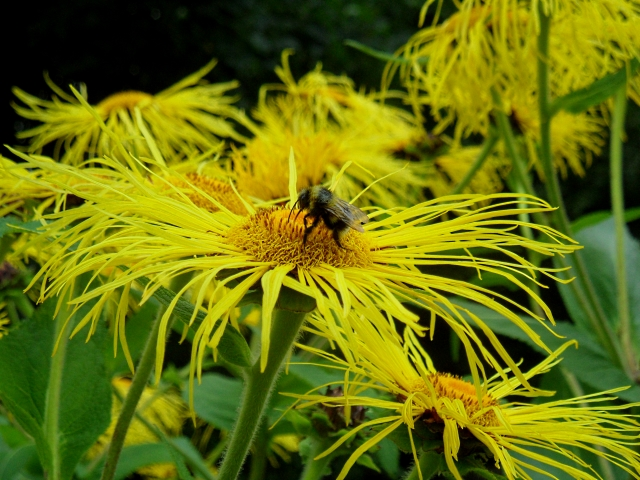 Bees inula 2 816