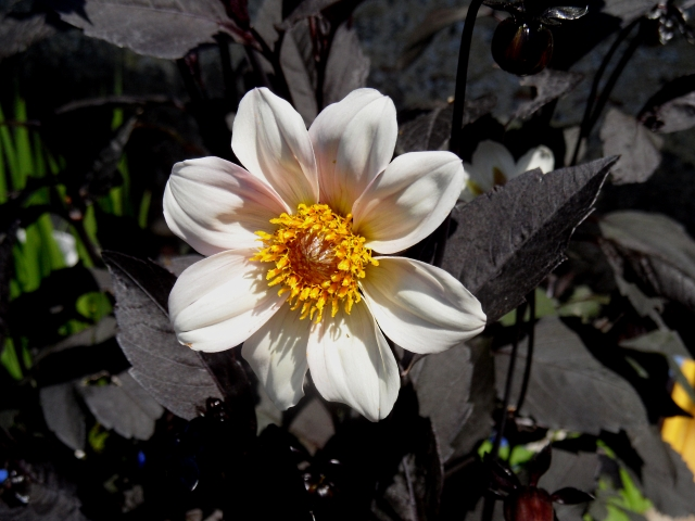 Dahlia Twynings After Eight 2 716