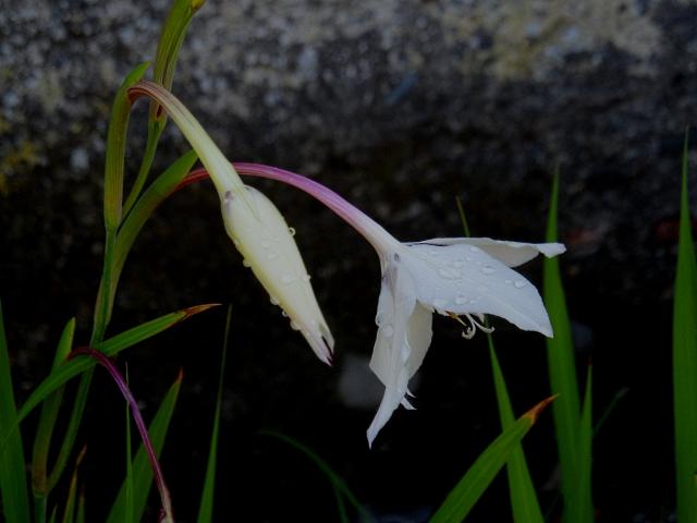 acidanthera-murieliae-916