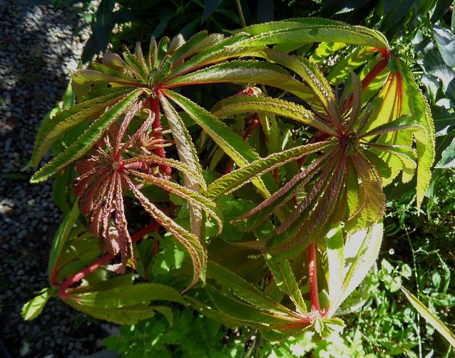 begonia-luxurians-1-916