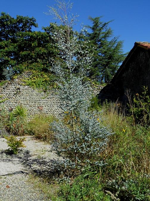 eucalyptus-gunnii-azura-916