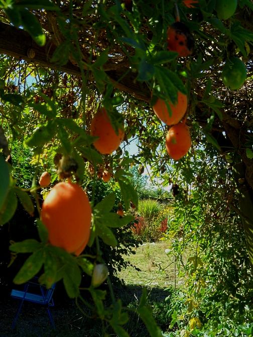 passiflora-fruit-916