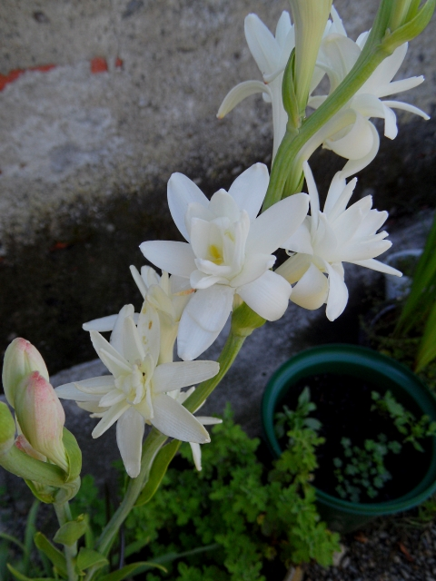 poilanthes-tuberosa-the-pearl-916