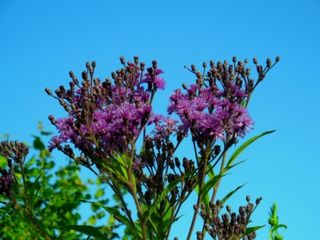 Vernonia crinita Mammuth 816