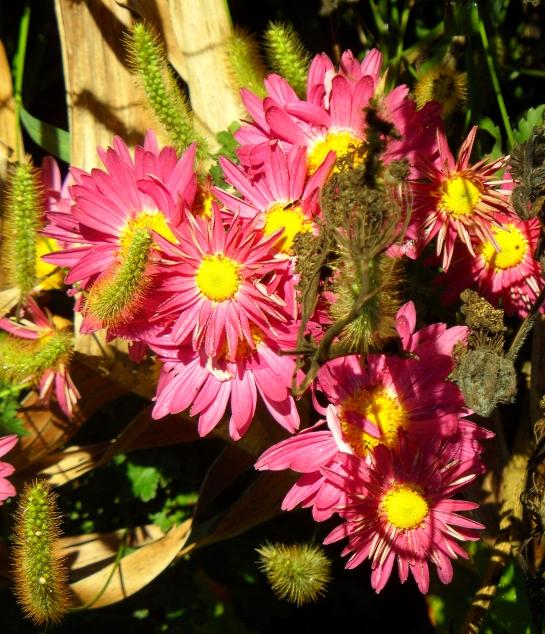 chrysanthemum-zawadski-1112