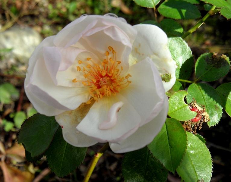 rosa-jacqueline-du-pre-1116