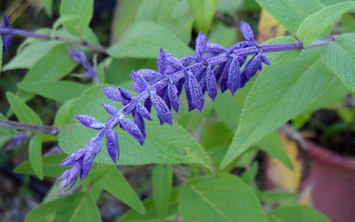salvia-anthony-parker-1112