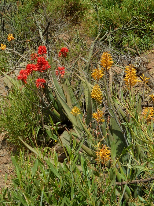 aloes-2