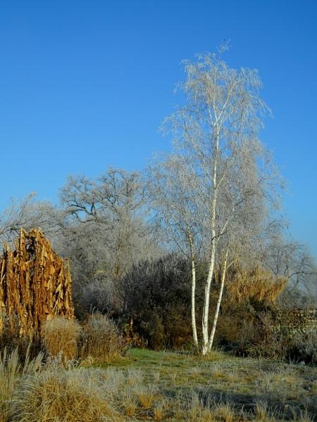 ancient-oak-winter-1117