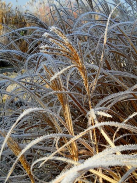 miscanthus-winter-2-117