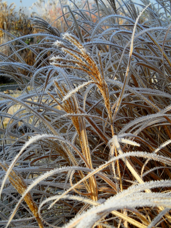 miscanthus-winter-2-117