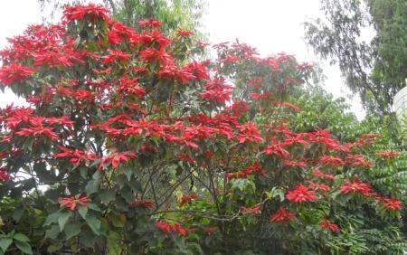 poinsettia-tree