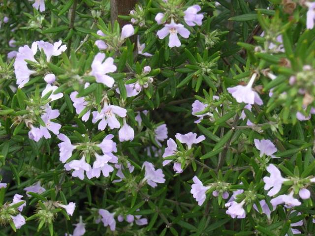 westringia-wynyabee-gem-foliage