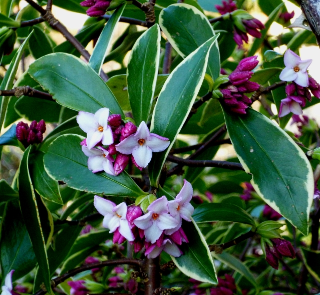 first-flowers-daphne-0217