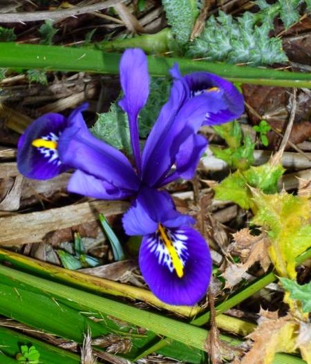 iris-unguicularis-0217