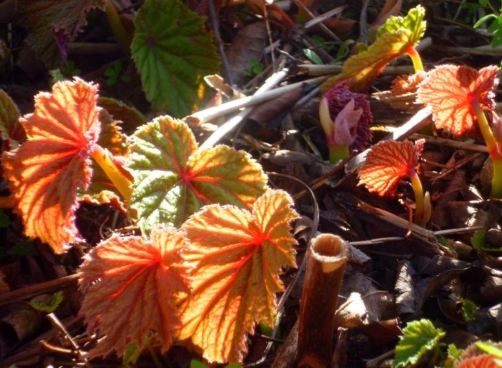 Begonia grandis evansiana 417