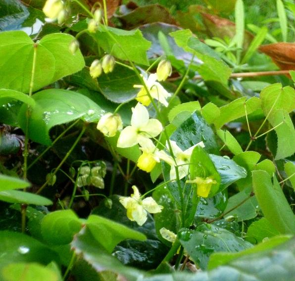 Epimedium sulphureum 417