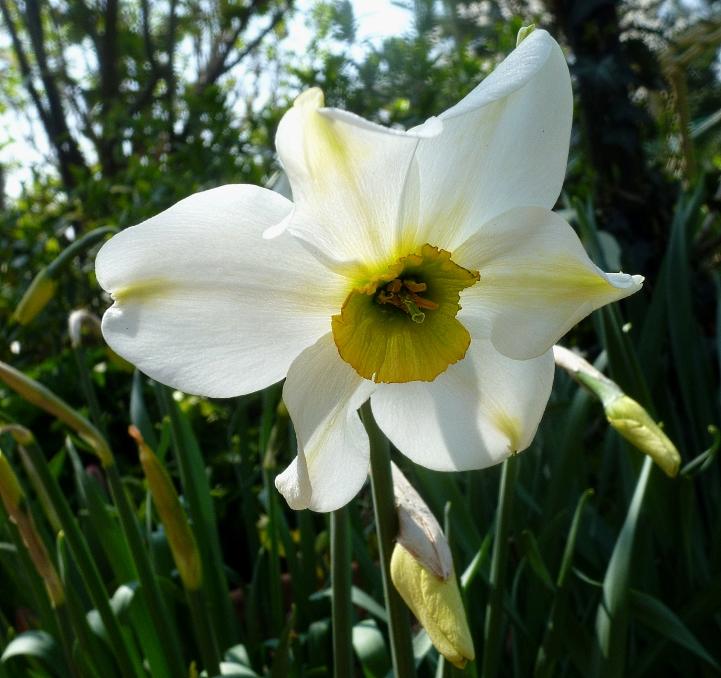 Narcissus Sinopel 417