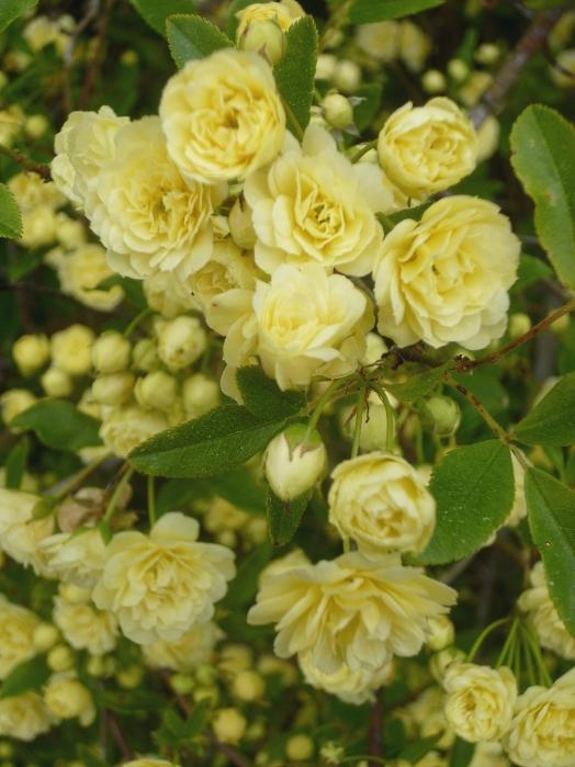 Rosa banksiae lutea 2 417