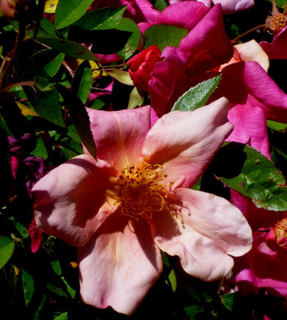 Rosa chinensis Mutabilis 2 417