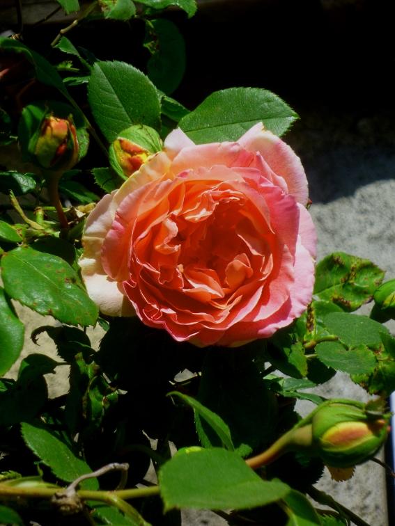 Rosa Crepuscule 2 417