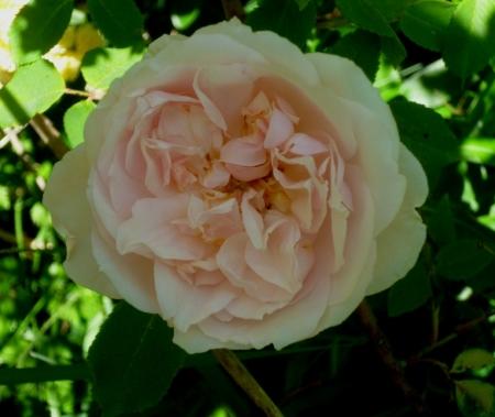Rosa MAC 2 417
