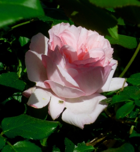 Rosa Pierre Ronsard 417