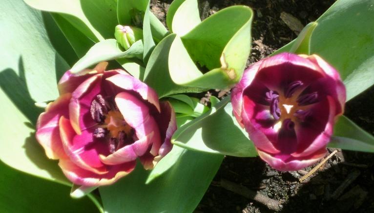 Tulipa Arabian Mystery 417