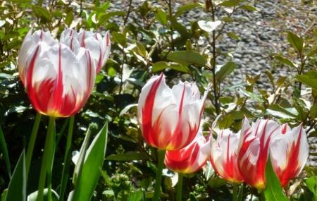 Tulipa Carnaval de Nice 417