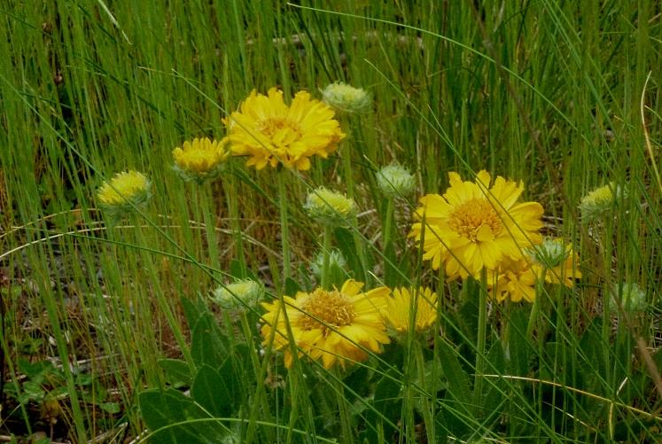 Gaiillardia Mesa Yellow 2 517