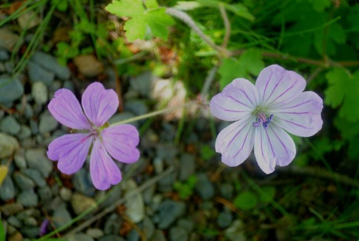 Geranium albanum 517