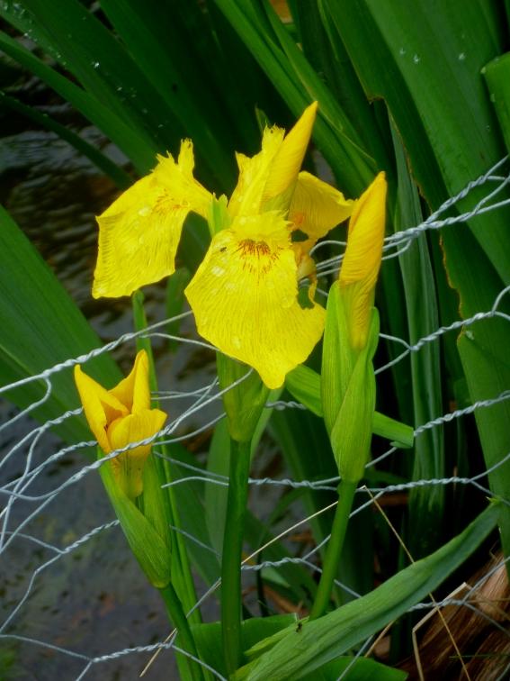 Iris pseudacorus 2 517