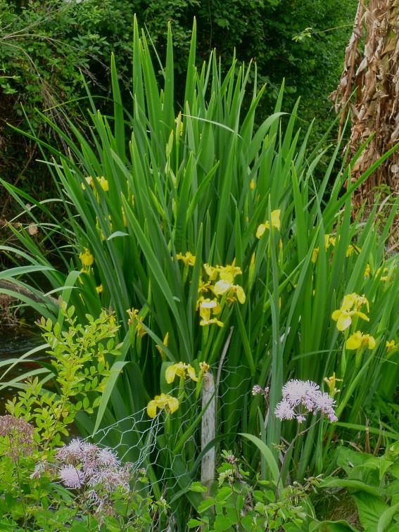 Iris pseudacorus 3 517