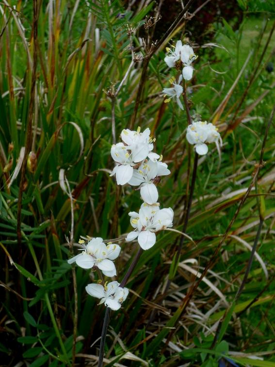 Libertia grandiflora 2 517