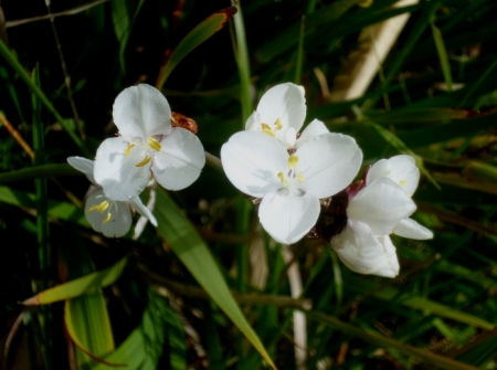 Libertia grandiflora 517