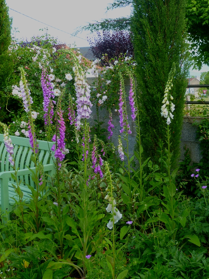 Foxgloves 517
