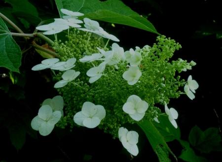 Hydrangea quercifolia 617