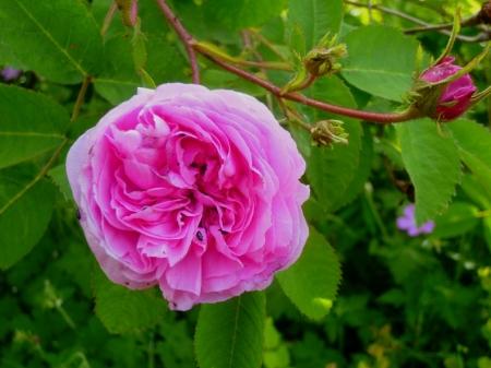 Rosa Salet 517