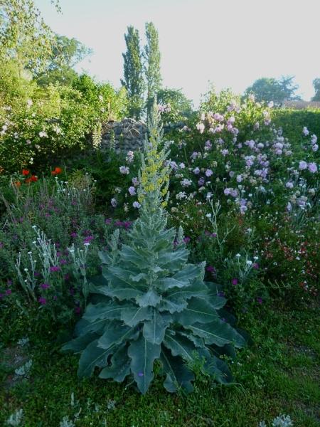Verbascum bombyciferum 517